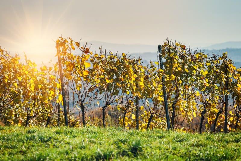 Download Wijngaarden En Organische Druif Op Wijnstoktakken Stock Afbeelding - Afbeelding bestaande uit groen, drank: 107701933