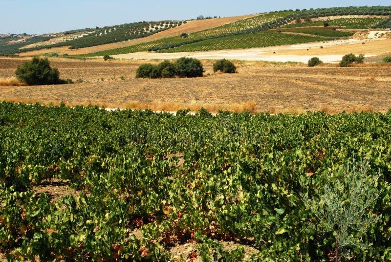 Wijngaarden en tarwegebieden, Montilla royalty-vrije stock fotografie