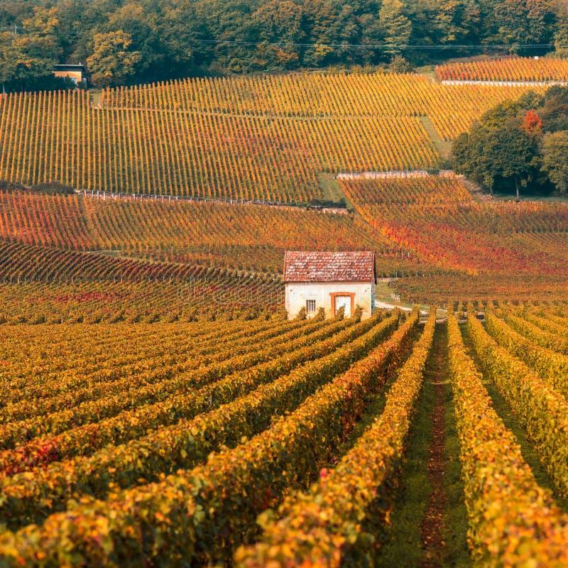Wijngaarden in het de herfstseizoen, Bourgondië, Frankrijk royalty-vrije stock afbeelding
