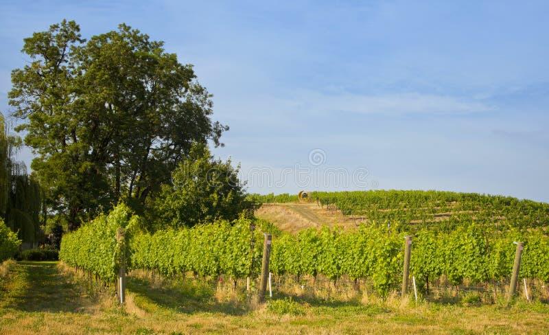 Wijngaarden, het Land van de Wijn van Walla Walla, Washington stock fotografie