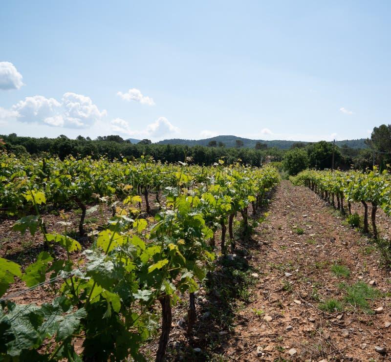 Wijngaarden in het Var gebied van Zuidelijk Frankrijk royalty-vrije stock afbeelding