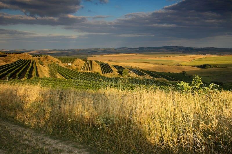 Wijngaarden in II augustus royalty-vrije stock afbeelding