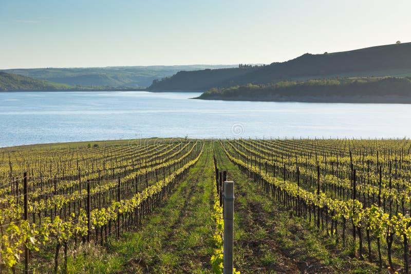 Wijngaarden in Italië bij zonsondergang stock afbeelding