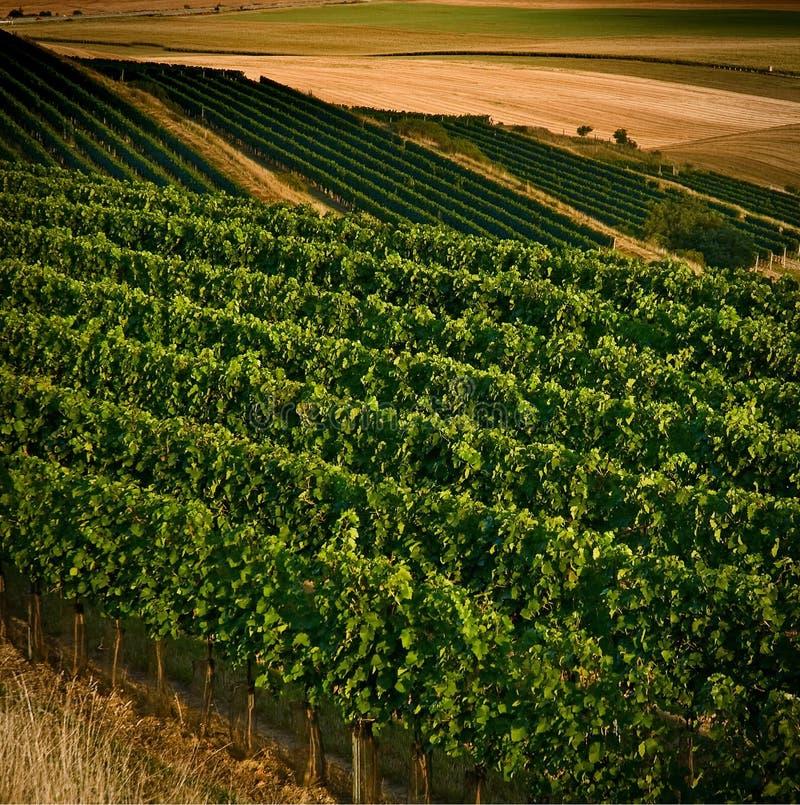 Wijngaarden in IV augustus royalty-vrije stock afbeelding