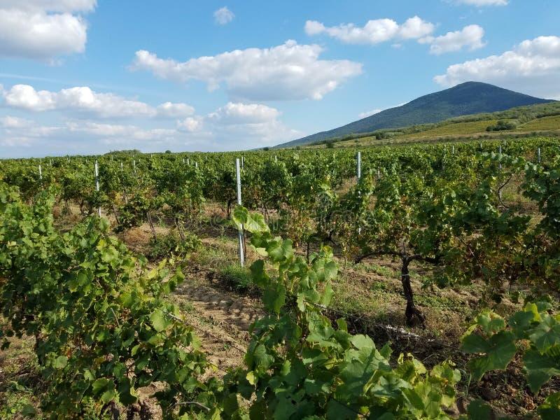 Wijngaarden - juist na de oogst royalty-vrije stock fotografie