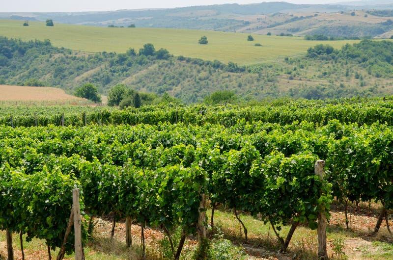 Wijngaarden langs de rivier van Donau in Noordoostelijk Bulgarije stock afbeeldingen
