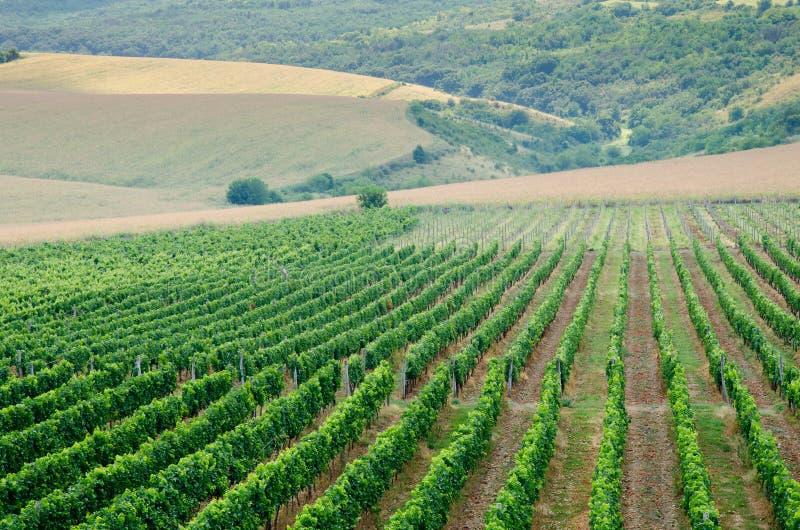 Wijngaarden langs de rivier van Donau in Noordoostelijk Bulgarije royalty-vrije stock afbeelding