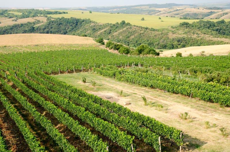 Wijngaarden langs de rivier van Donau in Noordoostelijk Bulgarije royalty-vrije stock fotografie