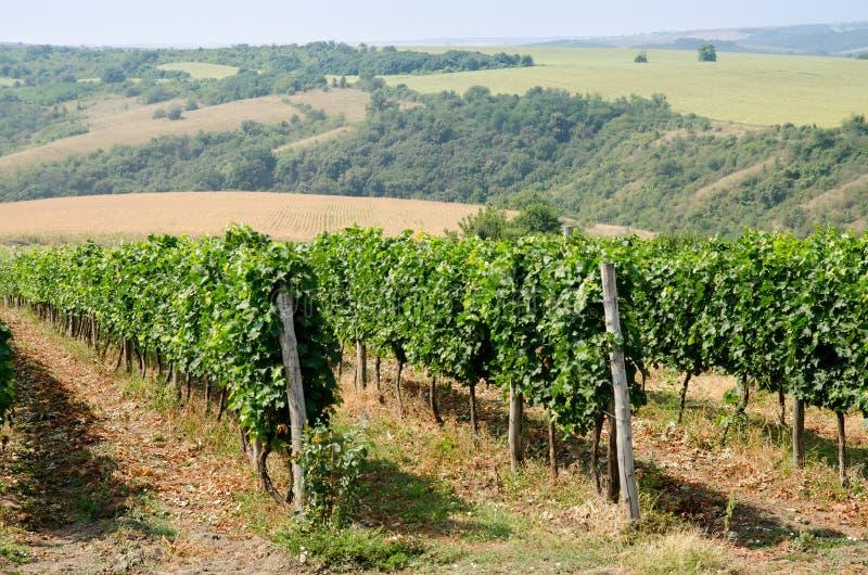 Wijngaarden langs de rivier van Donau in Noordoostelijk Bulgarije stock afbeelding