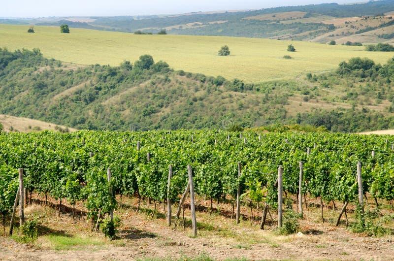 Wijngaarden langs de rivier van Donau in Noordoostelijk Bulgarije stock foto