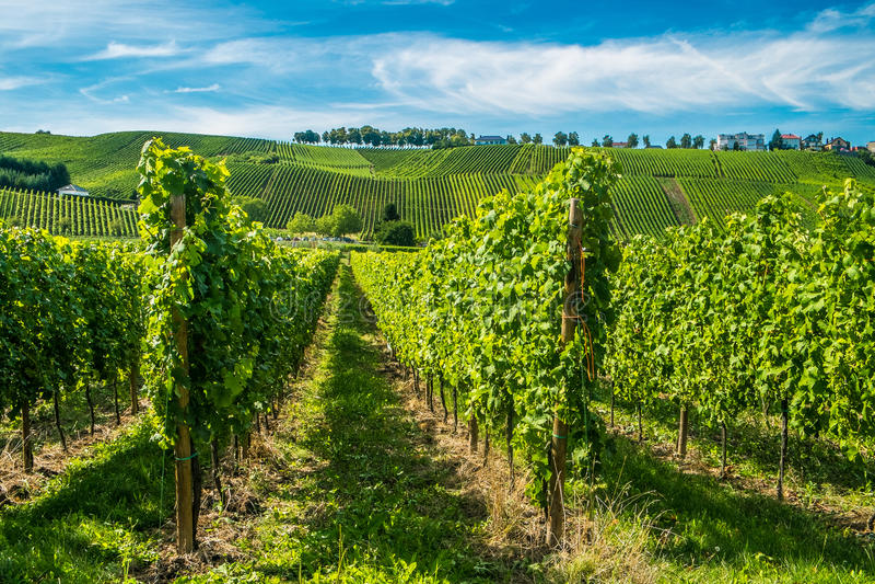 Wijngaarden langs de rivier van Moezel, Luxemburg royalty-vrije stock afbeelding