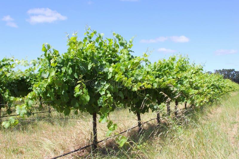 Wijngaarden in Margaret River, Westelijk Australië stock foto's