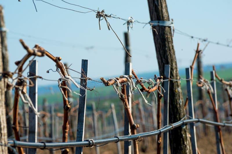 Wijngaarden met jonge wijnstokken stock foto's
