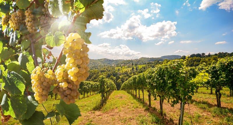 Wijngaarden met witte wijndruiven in de late zomer vóór de oogst in de buurt van een wijngaard stock afbeeldingen