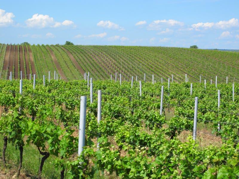 Wijngaarden in Moravië stock fotografie