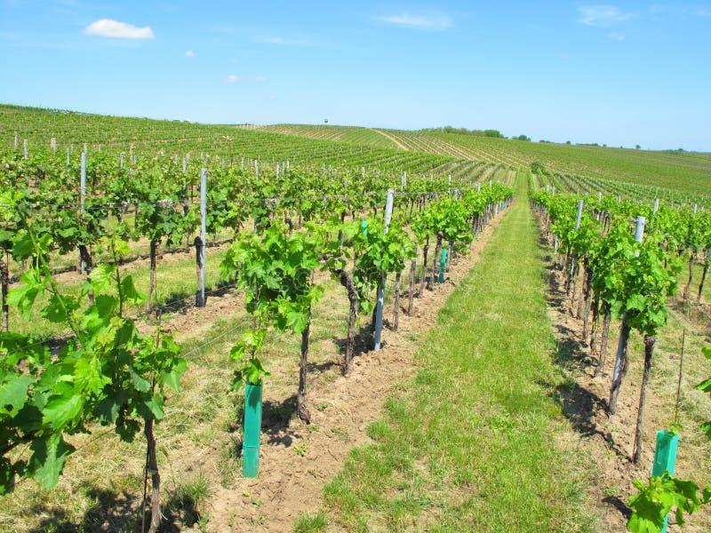 Wijngaarden in Moravië royalty-vrije stock foto's