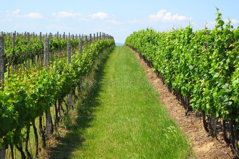 Wijngaarden in Moravië stock foto's