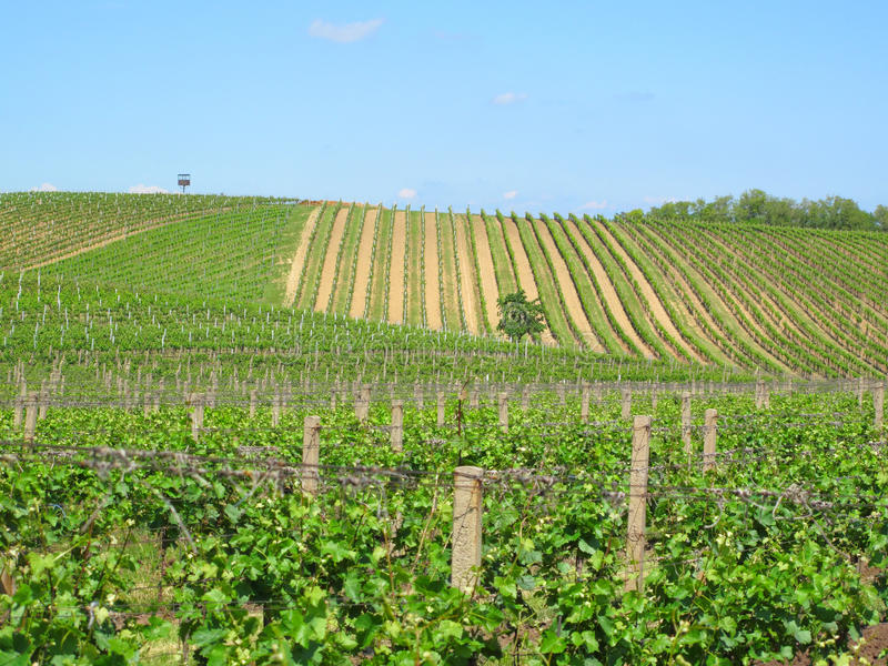 Wijngaarden in Moravië stock afbeelding