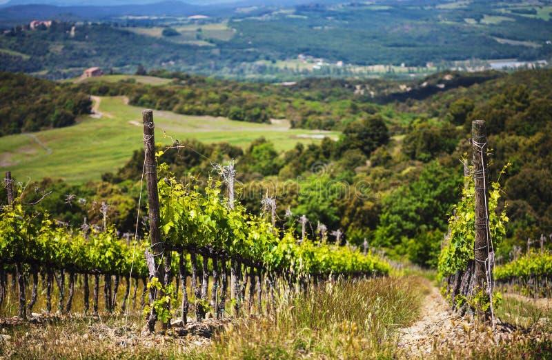 Wijngaarden op een zonnige dag in Toscane stock foto's