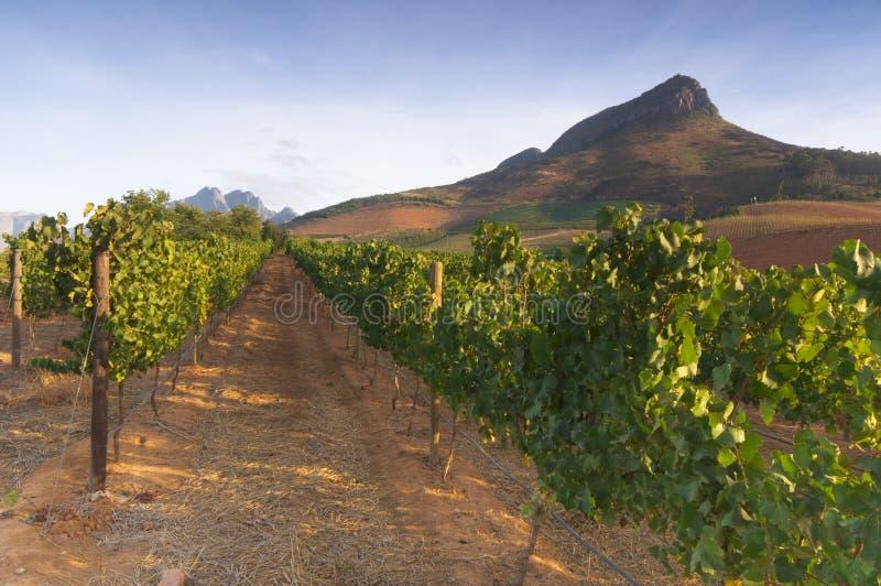 Wijngaarden rond Stellenbosch, Westelijke Kaap, Zuid-Afrika, Afric royalty-vrije stock foto