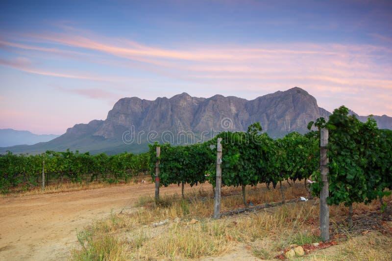 Wijngaarden rond Stellenbosch, Westelijke Kaap, Zuid-Afrika, Afric royalty-vrije stock fotografie