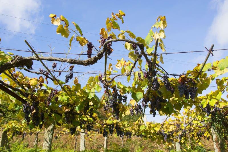 Wijngaarden, Spaanse landschappen stock fotografie