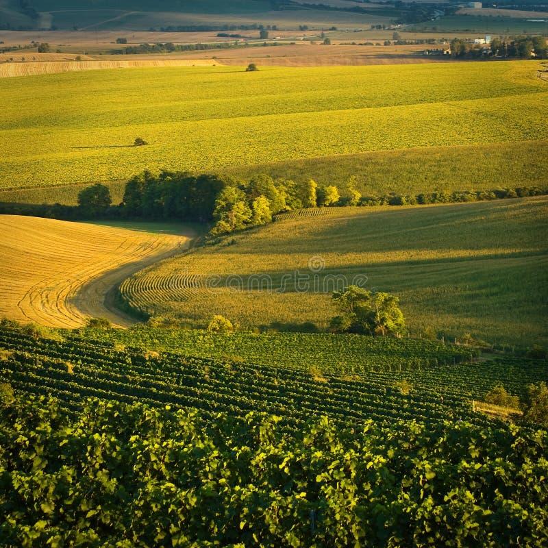 Wijngaarden in V augustus royalty-vrije stock afbeelding