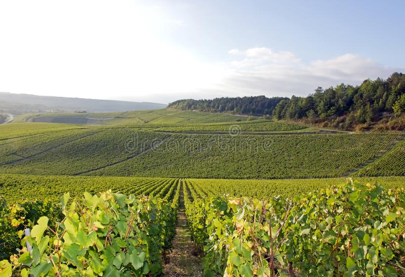 Wijngaarden van Chablis, Bourgondië (Frankrijk) royalty-vrije stock foto's