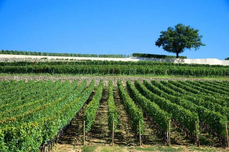 Wijngaarden van Saint Emilion, de Wijngaarden van Bordeaux stock fotografie