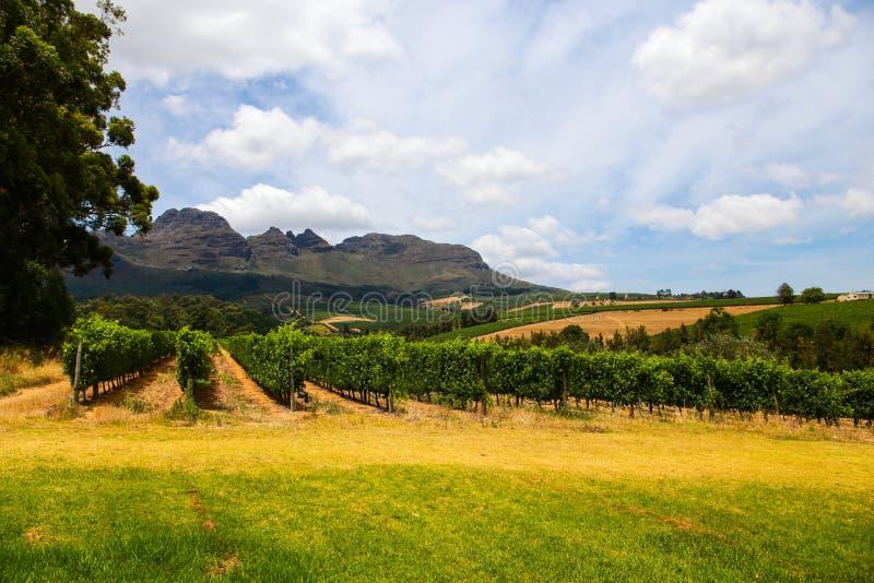Wijngaarden van Stellenbosch, Zuid-Afrika stock foto