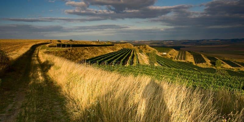 Wijngaarden in VI augustus stock foto's