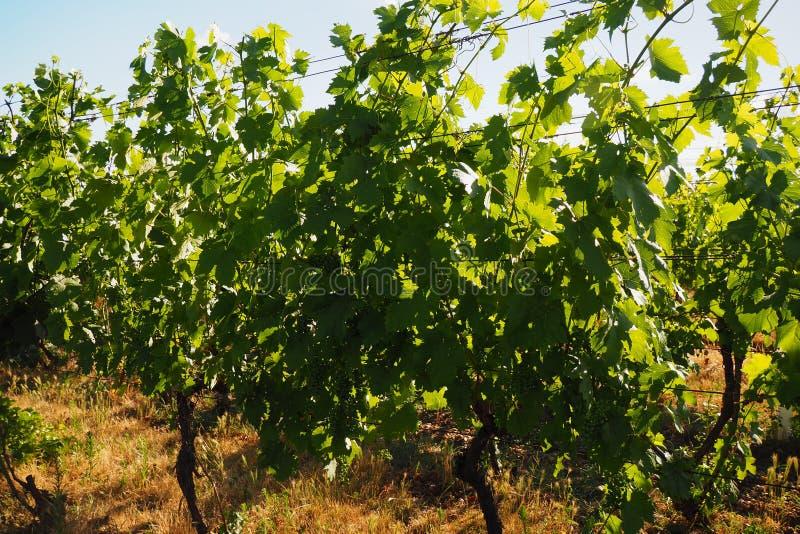 Wijngaarden, Zuid-Moravië, Tsjechische republiek stock fotografie