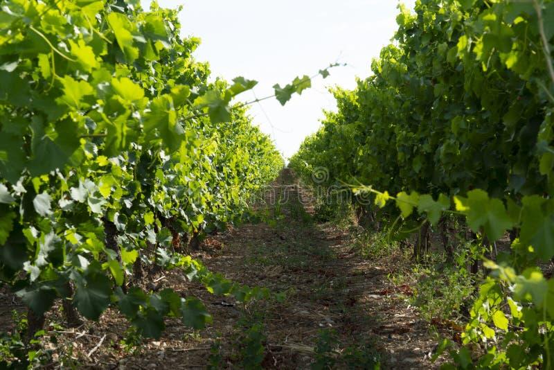 Wijngaarden in zuiden van Frankrijk stock afbeeldingen