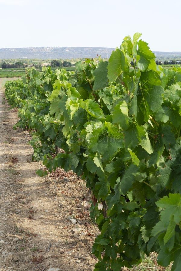 Wijngaarden in zuiden van Frankrijk stock foto
