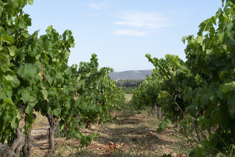 Wijngaarden in zuiden van Frankrijk royalty-vrije stock foto's
