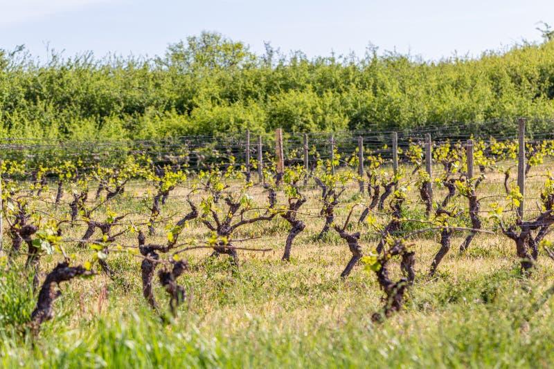 Wijngaardenlandbouw in de lente De houten polen met uitgerekte metaaldraad steunen de wijngaard Groene struiken Selectieve nadruk royalty-vrije stock foto's