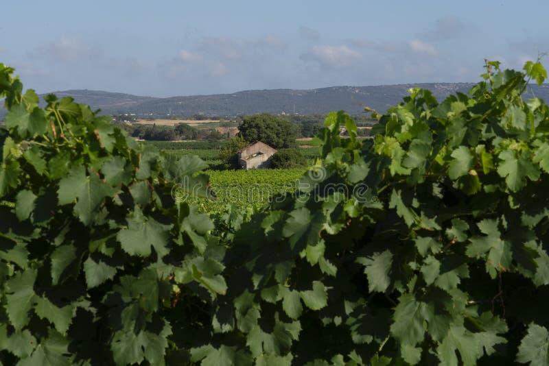 Wijngaardenlandschap in het zuiden van Frankrijk stock afbeelding