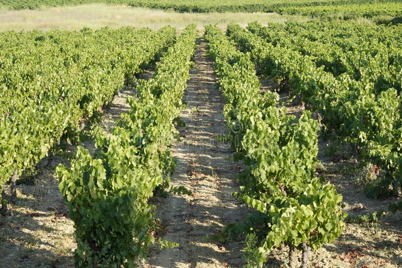 Wijngaardenlandschap in het zuiden van Frankrijk royalty-vrije stock afbeeldingen