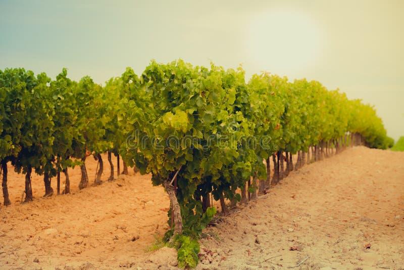Wijngaardgebied in Zuidelijk Frankrijk stock afbeelding