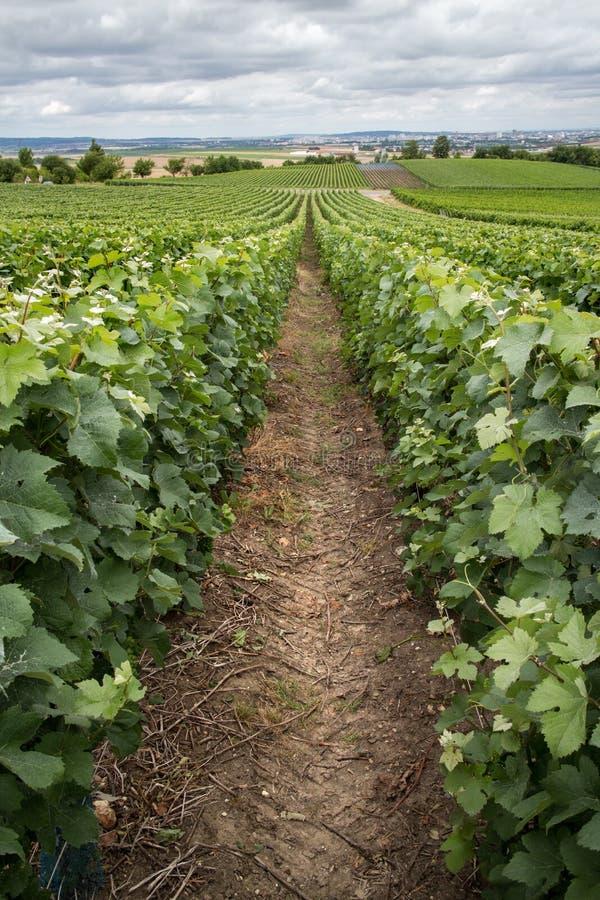 Download Wijngaardlandschap, Montagne De Reims Stock Afbeelding - Afbeelding bestaande uit champagne, frankrijk: 39112575