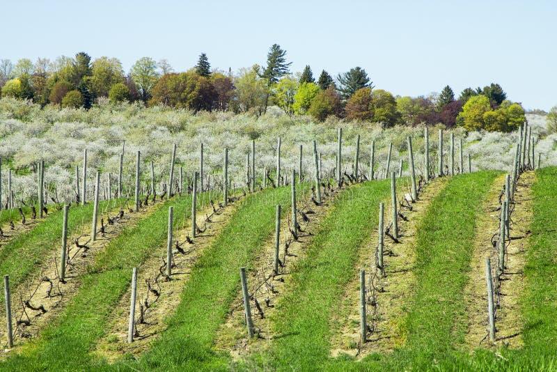 Wijngaardrijen van druiven in Sicilië stock afbeeldingen