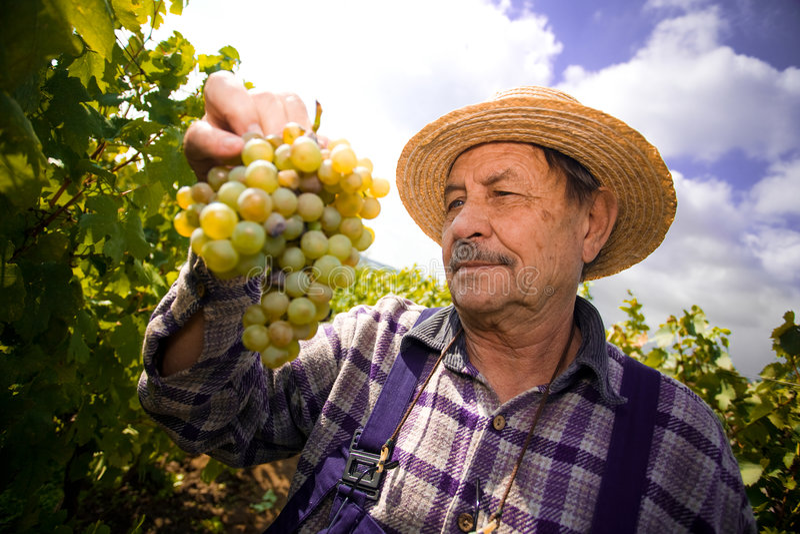 Wijnhandelaar die druiven onderzoekt