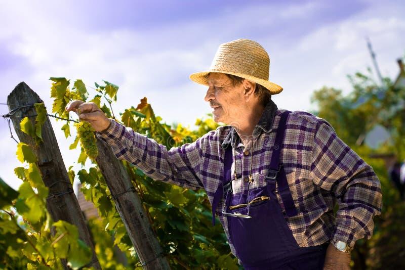 Wijnhandelaar die druiven onderzoekt stock afbeelding