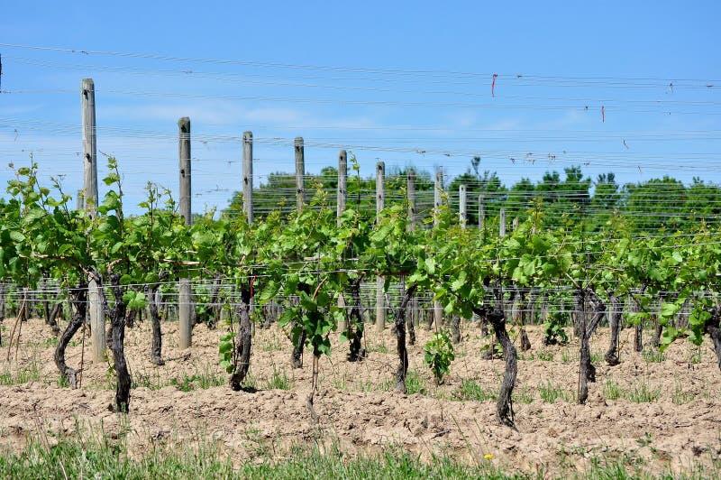 Wijnmakerijwijngaard royalty-vrije stock foto's