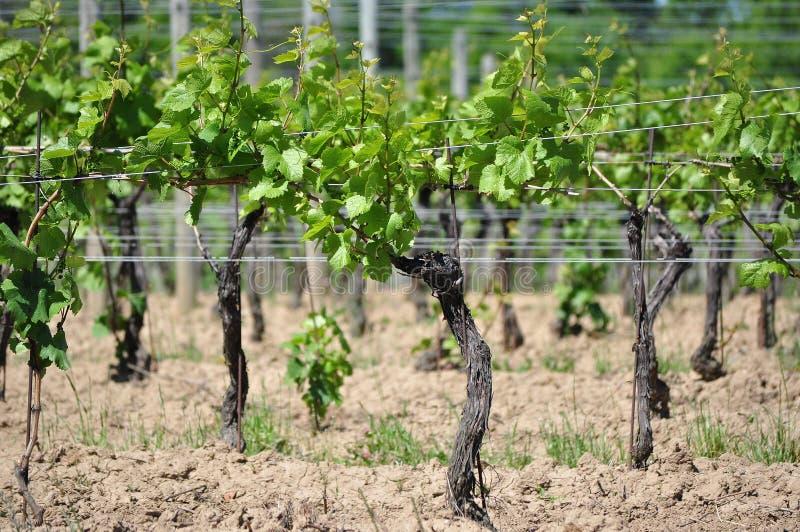 Wijnmakerijwijngaard stock foto's