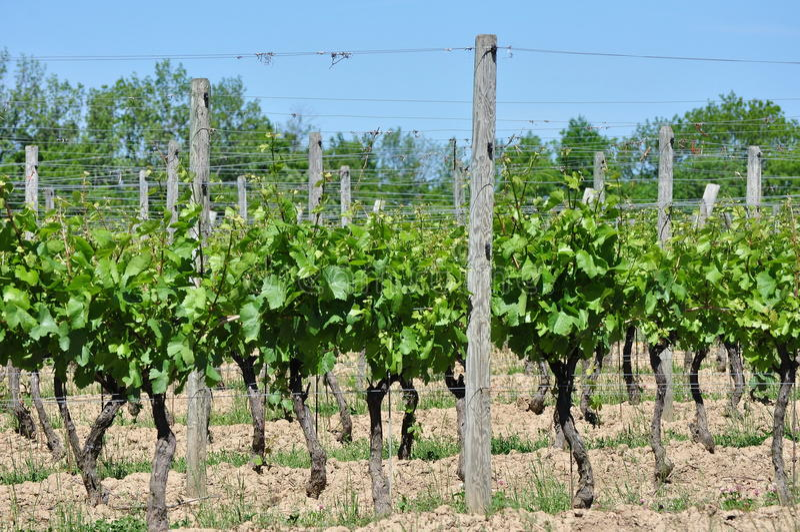 Wijnmakerijwijngaard stock afbeelding