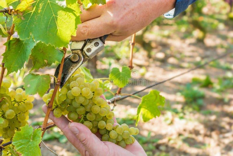 Wijnoogst op een wijngaard stock foto