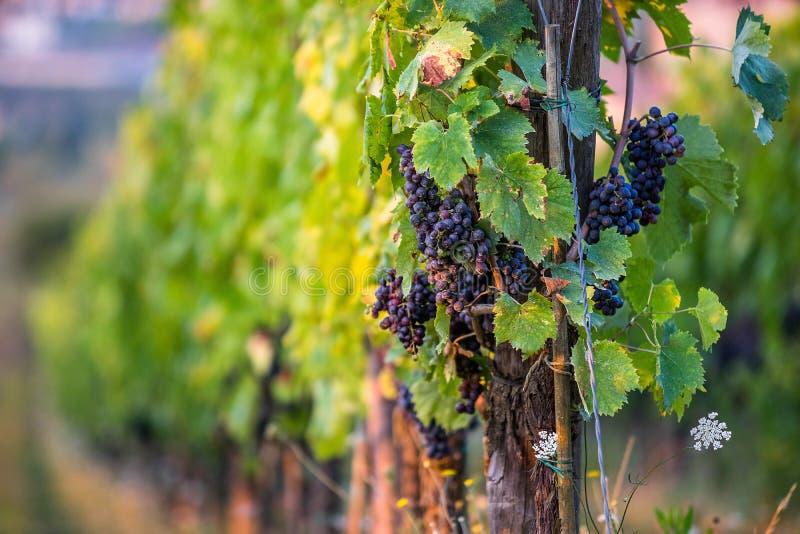 Wijnstok bij wijngaard in de avond stock foto's