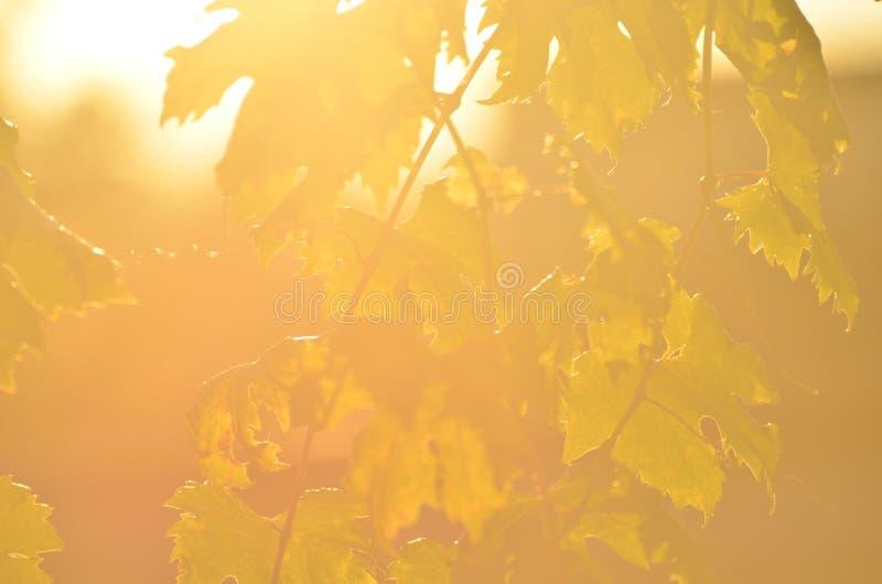 Wijnstok bij zonsondergang stock fotografie