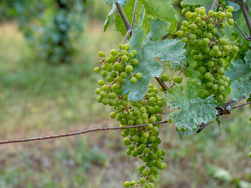 Wijnstok, blauw toe te schrijven aan het mengsel van Bordeaux d.w.z. het fungicide van het kopersulfaat, kopersulfaat en gebluste royalty-vrije stock foto's